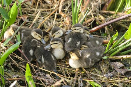 mottled: Mottled Duck chicks, Gren Cay Nature Reserve, Delray Beach, Florida, USA Stock Photo