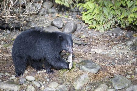 Black Bear (Ursus americanus) in salmon stream during salmon run,,  Thornton Fish Hatchery, Ucluelet , British Columbia, Canada