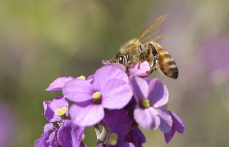 mellifera: Honey Bee (Apis mellifera), on purple flower, Gabriola Island , British Columbia, Canada Stock Photo