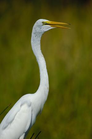 cay: Great Egret (Ardea alba), Green Cay Nature Centre, Delray Beach, Florida, USA