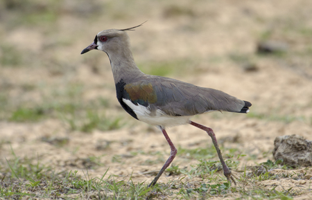 lapwing: Southern Lapwing (Vanellus chilensis), The Pantanal, Mato Grosso, Brazil Stock Photo