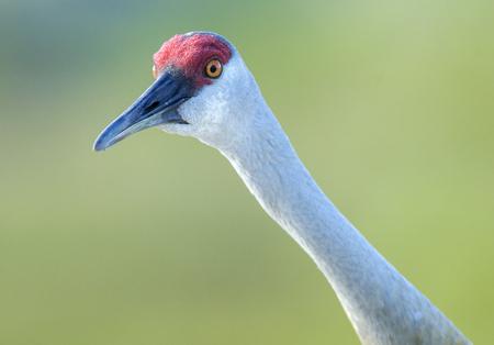 sandhill crane: Sandhill Crane (Grus canadensis), Arthur R Marshall National Wildlife Reserve - Loxahatchee, Florida, USA.