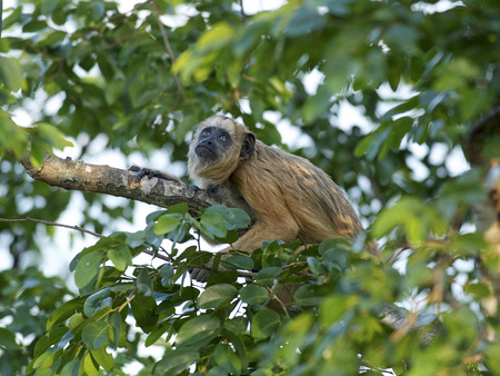 howler: Black Howler Monkey (Alouatta caraya) female,  The Pantanal, Mato Grosso, Brazil