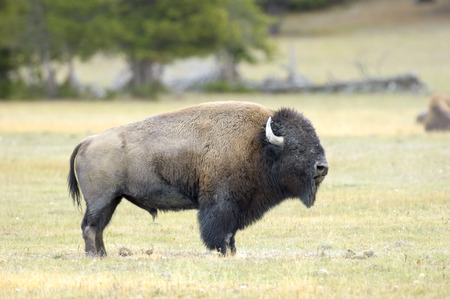 wyoming: American Bison (Bison bison), Yellowstone National Park, Wyoming, USA