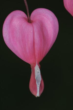 hemorragias: Sangrado Coraz�n (Dicentra spectabilis), Gabriola, Columbia Brit�nica, Canad� Foto de archivo