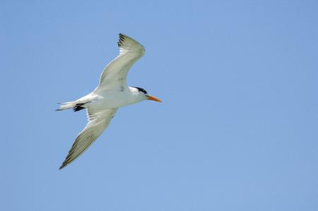 glide: Royal Tern (Sterna maxima),  Fishing Pier, Sanibel Island, Florida, USA Stock Photo