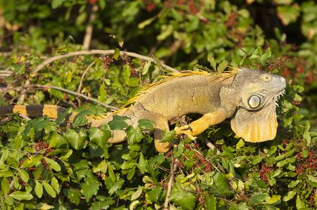reptilia: Green Iguana (Iguana iguana) in tree, Arthur C Marshall Wildlife Reserve, Loxahatchee, Florida.