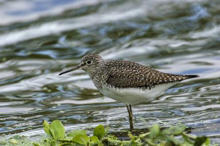 shorebird: Solitary Sandpiper (Tringa solitaria),   Green Cay Nature Centre, Delray Beach, Florida, USA Stock Photo