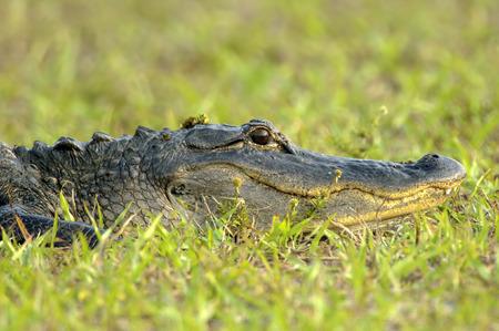 cold blooded: American Alligator (Alligator mississippienus), Arthur R Marshall National Wildlife Reserve, Loxahatchee, Florida, USA