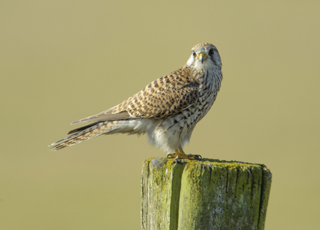 raptors: Kestrel (Falco tinnunculus) female, perched on a post, Elmley Marshes RSPB Reserve, England, : Photo by Peter Llewellyn