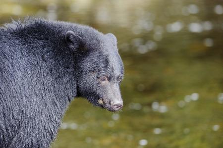 ursus americanus: Black Bear (Ursus americanus) in salmon stream during salmon run,,  Thornton Fish Hatchery, Ucluelet , British Columbia, Canada