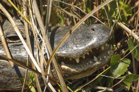 Everglades national park: American Alligator, (Alligator mississippiensis), close-up details of mouth and teeth, Shark Valley, Everglades National Park, Florida