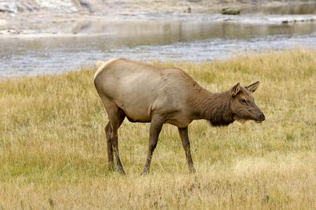 ruminant: Female Elk (Cervus elaphus), Yellowstone National Park, Wyoming, USA