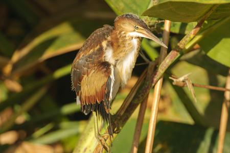 bittern: Least Bittern (Ixobrychus exilis) juvenile,  Wakodahatchee Wetlands, Delray Beach, Florida, USA Stock Photo