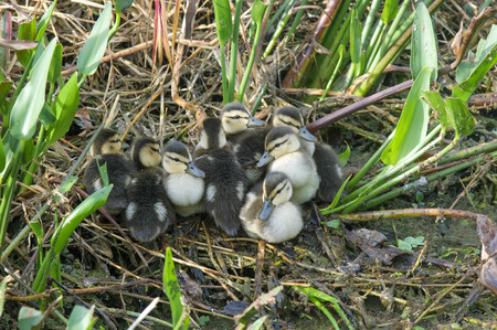 cay: Mottled Duck chicks, Gren Cay Nature Reserve, Delray Beach, Florida, USA Stock Photo