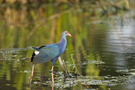 purple swamphen: Purple Swamphen, (Porphyrio porphyrio), an introduced species now endemic in S. Florida,  Wakodahatchee Wetlands, Florida Stock Photo