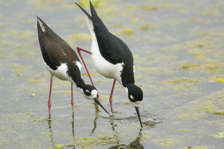 behaviour: Black-necked Stilt (Himantopus mexicanus),  male and female in mating behaviour, Green Cay Nature Centre, Delray Beach, Florida, Stock Photo