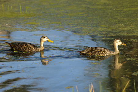 cay: Mottled ducks, swimming, Green Cay Nature Reserve, Florida Stock Photo