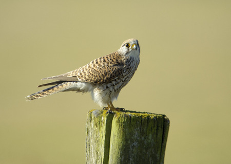 talons: Kestrel (Falco tinnunculus) female, perched on a post, Elmley Marshes RSPB Reserve, England, : Photo by Peter Llewellyn