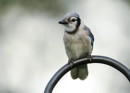 feeders: Blue Jay (Cyanocitta cristata), Garden Wellington, Florida, USA