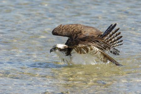 preen: Osprey, (Pandion haliaetus), bathing along edge of beach, taken from Causeway between Fort Myers and Sanibel Island, Florida Stock Photo