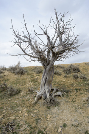 desert ecosystem: Bristlecone pines and rock formations, Sand Wash Basin, Colorado, USA