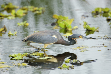 wader: Tricolored Heron (Egretta tricolor), Arthur J Marshall National Wildlife Reserve - Loxahatchee, Florida