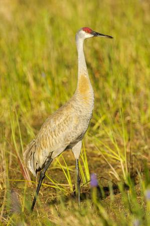 sandhill crane: Sandhill Crane (Grus canadensis), Arthur R Marshall National Wildlife Reserve - Loxahatchee, Florida, USA Stock Photo