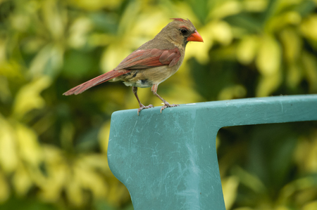 female cardinal: Female Northern Cardinal (Cardinalis cardinalis) perched on garden furniture, Wellington, Florida, USA