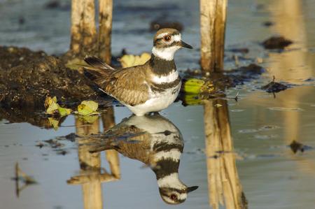shorebird: Killdeer (Charadrius vociferus), Arthur R Marshall National Wildlife Reserve - Loxahatchee, Florida, USA Stock Photo