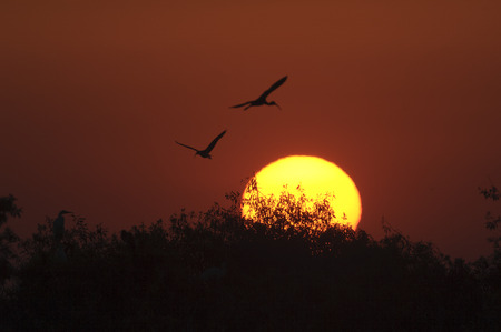 wader: Ibis silhouttes at sunset Arthur R Marshall National Wildlife Reserve Florida
