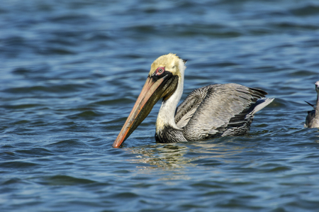 myers: Brown Pelican, (Pelecanus occidentalis), from Causeway between Fort Myers and Sanibel Island, Florida, USA Stock Photo
