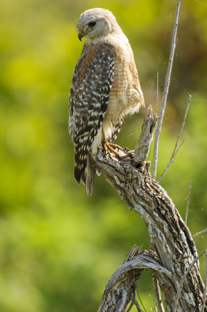 wildlife reserve: Red-shouldered Hawk (Buteo lineatus) - Arthur R Marshall, National Wildlife Reserve, Loxahatchee, Florida, USA