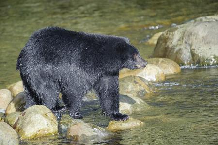 ursus americanus: Black Bear (Ursus americanus), Thornton Fish Hatchery, Ucluelet, British Columbia, Canada Stock Photo