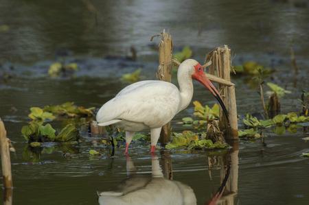 ibis: White Ibis (Eudocimus albus), Arthur J Marshall National Wildlife Reserve - Loxahatchee, Florida, USA Stock Photo