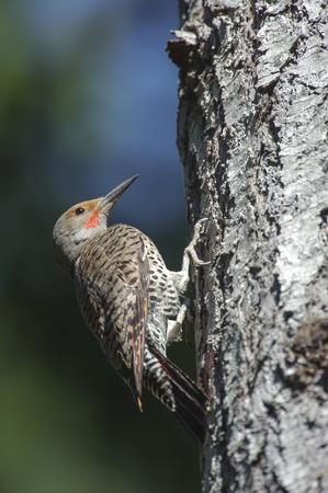 flicker: Northern Flicker (Colaptes auratus), Gabriola, British Columbia, Canada.