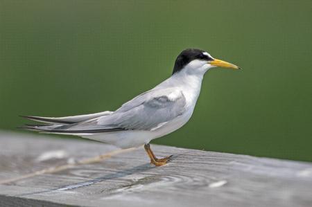 cay: Sandwich Tern (Thalasseus sandvicensis),  Green Cay Nature Center, Delray Beach, Florida, USA