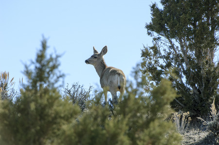 ruminant: Mule Deer (Odocoileus hemionus), Sand Wash Basin, Colorado, USA