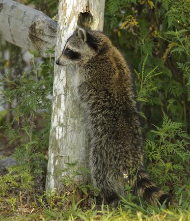 bandits: Raccoon (Procyon lotor), Arthur R Marshall National Wildlife Reserve - Loxahatchee, Florida, USA Stock Photo