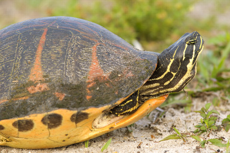 blooded: Florida Redbelly Turtle Stock Photo