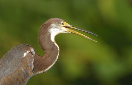 cay: Tricolored Heron (Egretta tricolor), Green Cay Nature Area, Delray Beach, Florida, USA