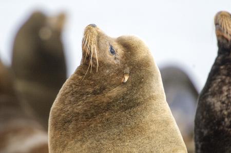 fanny: California Sea Lion (Zalophus californianus), Fanny Bay , British Columbia, Canada