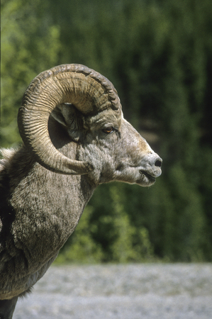 banff: Bighorn Sheep (Ovis canadensis) - Banff National Park, Banff , Alberta, Canada Stock Photo