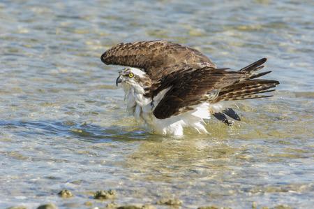 preen: Osprey, (Pandion haliaetus), bathing along edge of beach, taken from Causeway between Fort Myers and Sanibel Island, Florida, USA Stock Photo