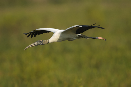 wildlife reserve: Wood Stork, (Mycteria americana), collecting nesting material, Arthur J Marshall National Wildlife Reserve Florida Stock Photo