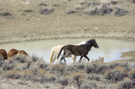 flee: Wild horse (equus caballus), Sand Wash Basin, Colorado, USA