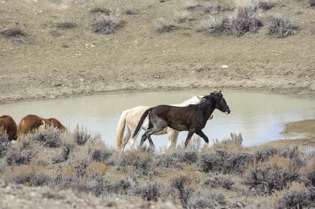 fleeing: Wild horse (equus caballus), Sand Wash Basin, Colorado, USA