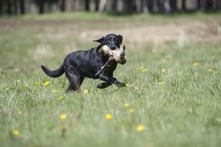 trials: Retriever gundog trials, British Columbia, Canada