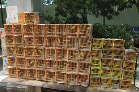 caged: Songbirds in cages at the Bird Garden, Mong Kok (Mongkok), Hong Kong, Hong Kong