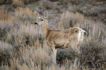 mule: Mule Deer (Odocoileus hemionus), Sand Wash Basin, Colorado, USA